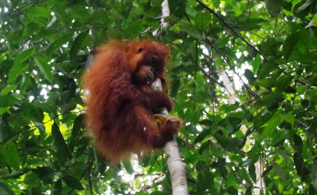 Orangutan in Gunung Leuser National Park